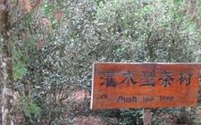 茶树是什么植物?茶树是灌木还是乔木?
