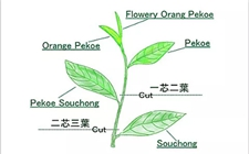 茶树基因:茶树叶片的颜色与基因