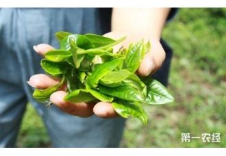 茶叶可以生吃吗?茶树叶可以直接泡茶吗?