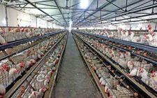 陕西榆阳:一家养鸡场大面积的出现死亡已进行处理