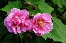 种植知识:木芙蓉什么时候开花