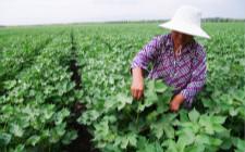 棉花种植要注意什么?棉花的夏季管理工作