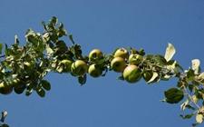苹果树种植:6月份苹果树果园的管理技术要点