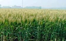河南尉氏:矮败小麦帮助农民增产增收
