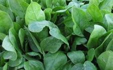 菠菜种植:秋菠菜的种植技术