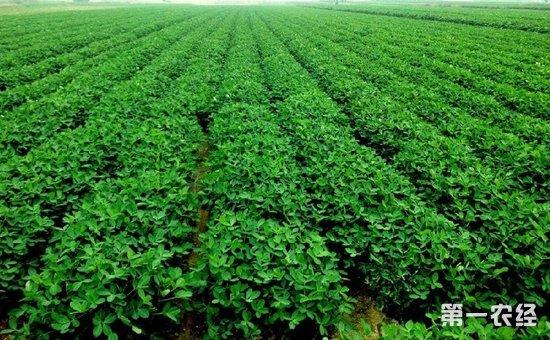 花生种植:花生的无公害高产高效种植技术