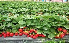 草莓繁苗田有哪些管理措施?