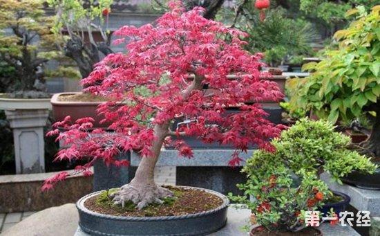 枫树盆景的树形制作和养护管理要点