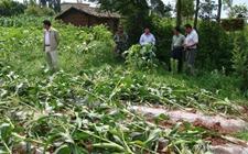 山东:风雹灾害致使1.51千公顷农作物绝收