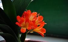 养花技巧:君子兰不同生长阶段的配土方法介绍