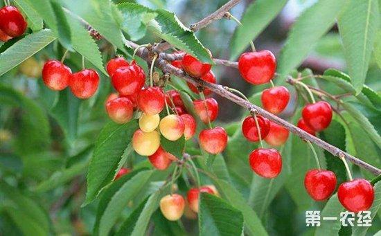 樱桃树结果少怎么办 樱桃树结果少的原因和解决方法图片