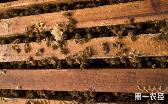 蜜蜂养殖:蜜蜂的快速繁殖技术