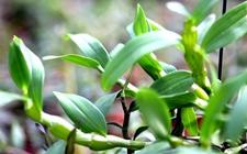 石斛盆栽该怎么种?石斛盆栽的种植方法