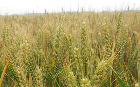 陕西:高产抗病抗倒伏小麦有望在中原产粮大省推广