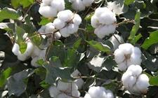 新疆乌苏:以棉花产业联盟为依托 加大供给侧结构性改革