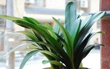 君子兰种植:君子兰的度夏养护要点