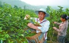 重庆江津:花椒品牌成为最亮的农业产业名片