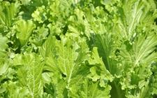 芥菜种子怎么种?芥菜的播种繁殖方法