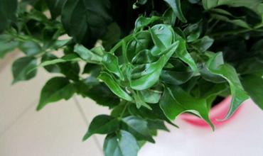 夏季炎热难当?5种增湿又降温的盆栽植物介绍!