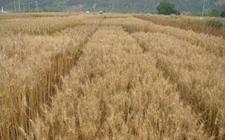 河北邯郸:试验基地创全国冬小麦亩产新纪录