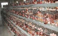 产蛋高峰期过后蛋鸡要如何饲养管理?
