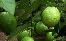 番石榴种植:番石榴种植的繁殖技术