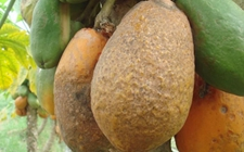 番木瓜受病害侵染怎么办?番木瓜常见病害的为害症状和防治方法