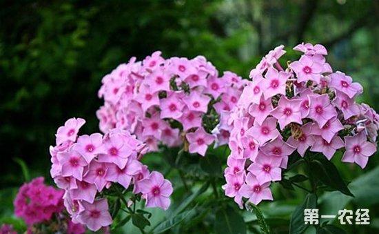 六月夏季伊始!6种进入花期的盆栽植物介绍