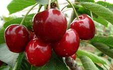 大樱桃怎么盆栽?大樱桃的盆栽方法和养护技巧