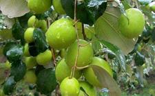 青枣种植如何实现高产?青枣的高产种植技术