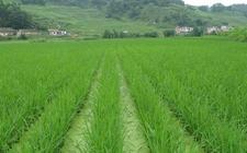 四川广安:互联网+农业提升农村发展能力
