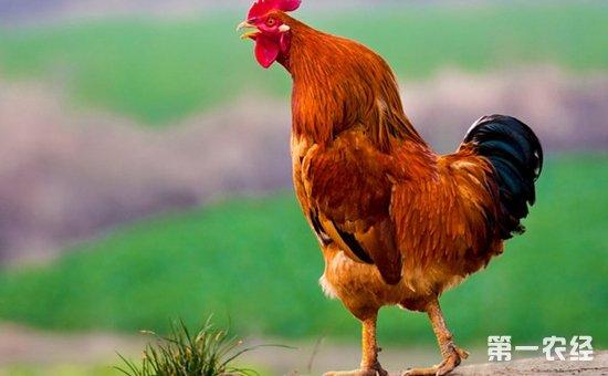 公鸡几点打鸣?公鸡打鸣的时间规律