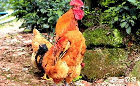 公鸡为什么早上打鸣?