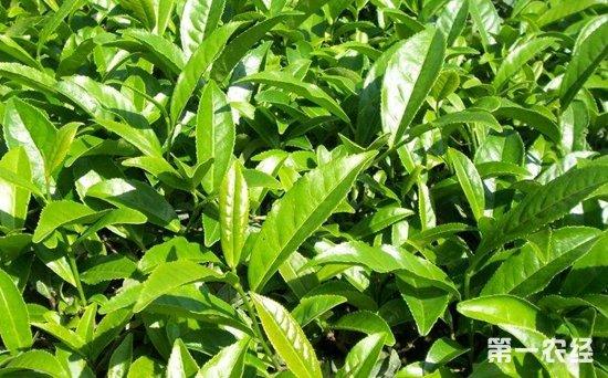 安溪有哪些色种茶?铁观音是安溪色种茶之一吗?