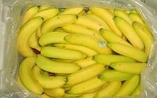 <b>福建漳州特产——天宝香蕉</b>