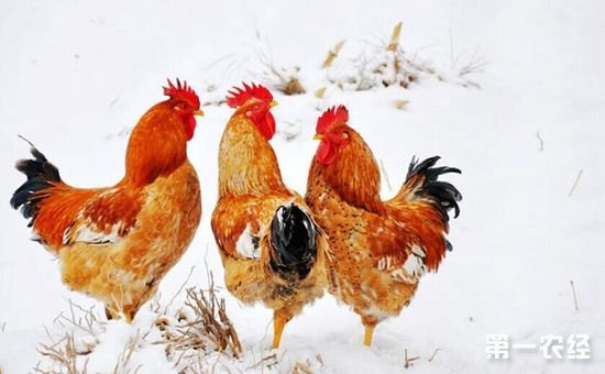 大骨鸡如何养殖?大骨鸡的三大饲养技术要点