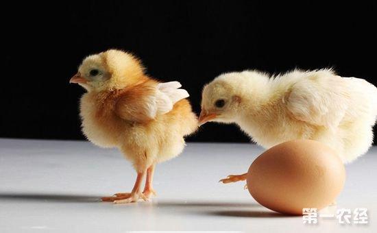 """溜达鸡雏鸡科学饲养管理的""""五部曲"""""""