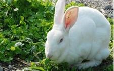 野兔养殖:野兔的养殖技术