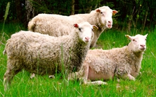 母羊流产怎么办 母羊流产的治疗方法