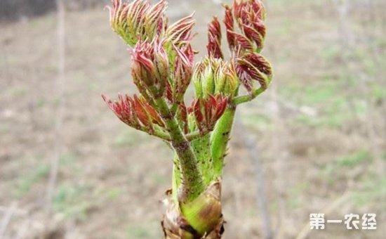 刺嫩芽的种植前景如何?刺嫩芽的种植技术