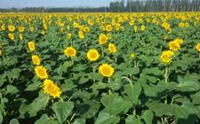 向日葵种植该如何实现高产?向日葵的高产种植