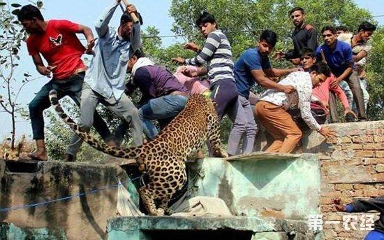 猎豹窜入村庄咬伤9人遭村民乱棍打死