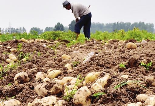 """定远万吨""""扶贫土豆""""遇上滞销难题 再不卖出将烂在田里"""