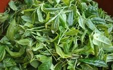 <b>福建龙岩特产——灌洋高山绿茶</b>