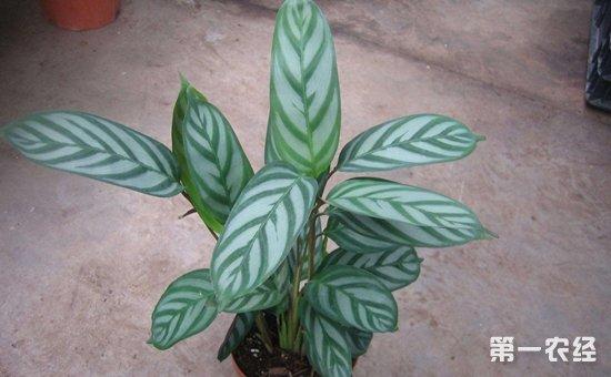 6种夏季必养的盆栽植物介绍!浇水再多也不怕