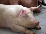 <b>猪流行性腹泻怎么防治?</b>