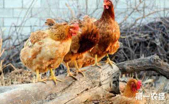 鸡群患呼吸道鸡病征兆:四种鸡呼吸异常状态的表现