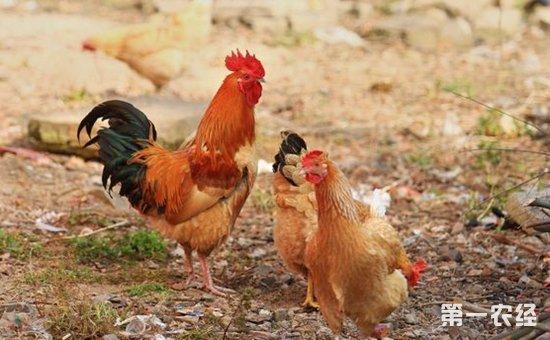 防治土鸡鸡病科学用药的六大途径和操作方法是什么?
