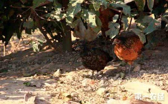 鸡群拉稀怎么办?最新预防鸡群拉稀的三大妙招