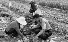 杨陵700万斤洋葱遭遇滞销 一斤两毛有谁?
